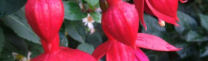 Flor fucsia